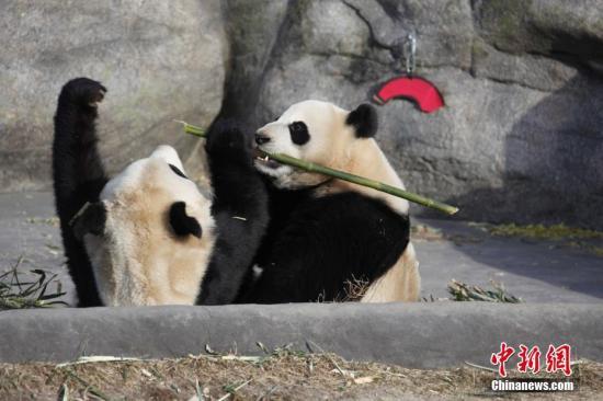 """资料图:当地时间3月18日,两只大熊猫双胞胎""""加盼盼""""、""""加悦悦""""在多伦多动物园内打闹争食。 中新社记者 余瑞冬 摄"""