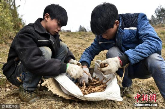 资料图:农村中学生假期跟随父母上山劳动。图片来源:视觉中国