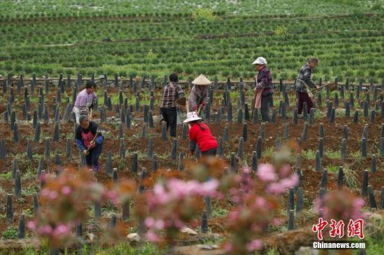 3月25日,农民在贵州省普定县化处镇化新村韭黄种植基地劳作。中新社记者 贺俊怡 摄