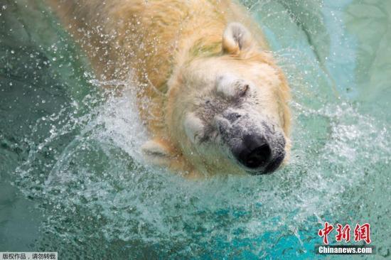 """图为北极熊""""伊努卡""""资料图。"""