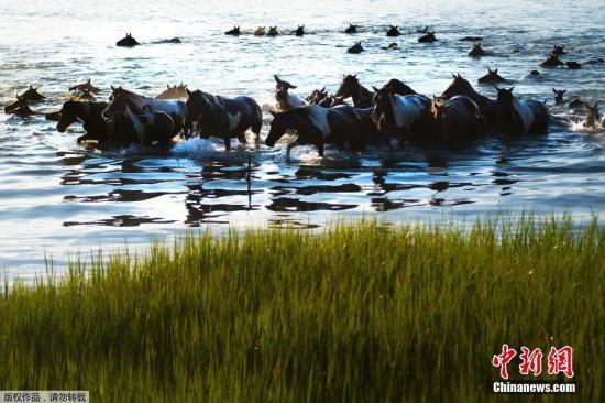 资料图:当地时间2017年7月26日,美国弗吉尼亚东海滨举办年度钦科蒂格野马游泳节,上百匹野马同时横跨亚萨提格海峡(Assateague channel)景象壮观。
