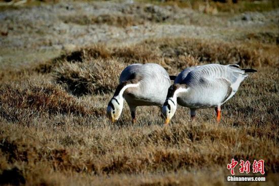 濒危动物斑头雁在长江源头保护成效显著 7年增长近2倍