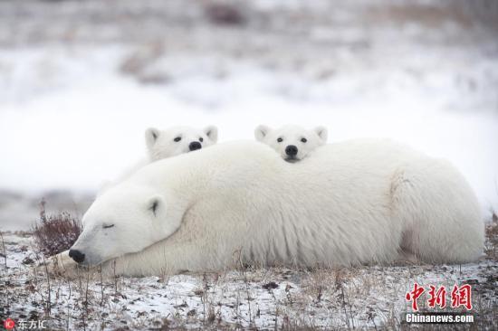 俄楚科奇海岸一头北极熊遭杀 身上伤口或为枪伤
