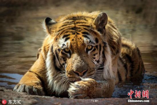 资料图:老虎。 图片来源:东方IC 版权作品 请勿转载 俄罗斯在2018年找到了失踪的母老虎。菲利普母老虎的身体状况良好。 全天重庆时时彩计划