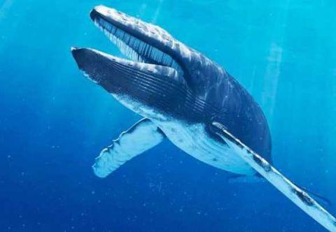 蓝鲸身体结构图片