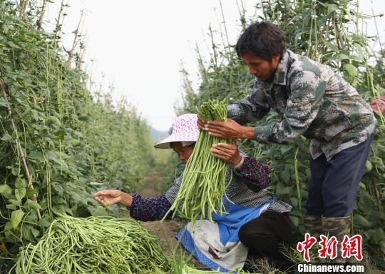村民在整理采摘的豆角。 朱柳融 摄