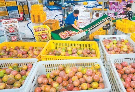 广西小伙3年卖出1500万斤百香果销售额破7000万元