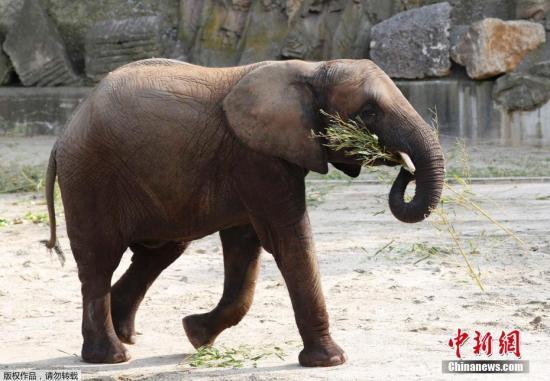 資料圖:大象。