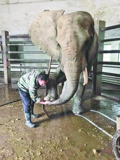 """动物园大象少一根牙 园方:""""小夫妻""""打架时断落"""