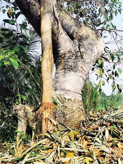 林业局锁定砍树嫌疑人