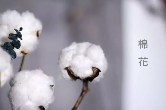 棉花蕾铃脱落的原因分析