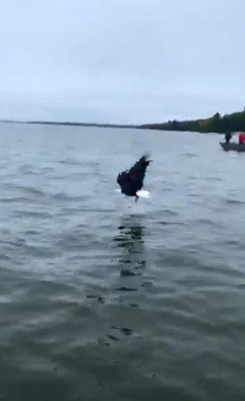 时机完美!美国一男孩将鱼扔进水里 秃鹰半空中劫走