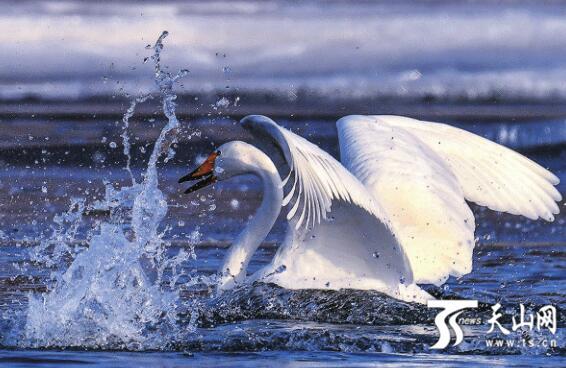 库尔勒越冬天鹅飞往巴音布鲁克