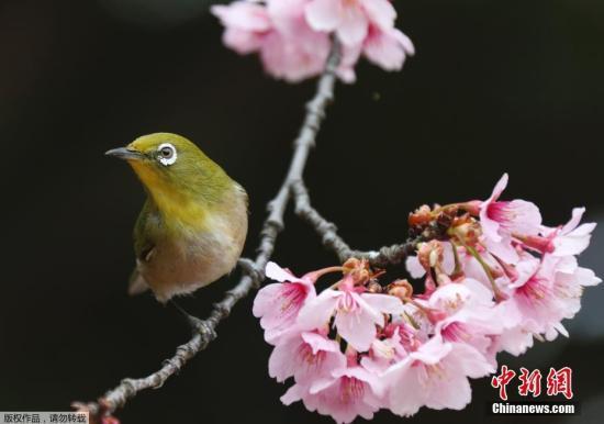 时隔103年 日本国内又发现新品种野生樱花