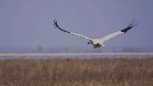 大腿骨曾受过伤、缺少一个脚趾的白鹤在解毒后,成功放飞。