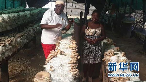 ▲资料图片:中国援助赞比亚农业技术示范中心毕业学员祖鲁女士(左)在自家的蘑菇种植大棚内。