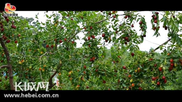 【微视频】河北省行唐县鲁家裕村党支部书记为家乡大枣代言