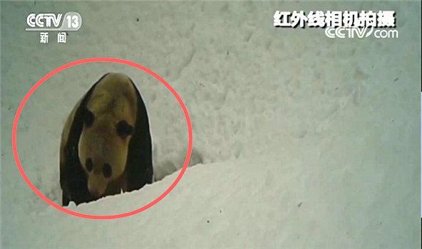 都江堰虹口保护区 拍到熊猫等大量野生动物影像