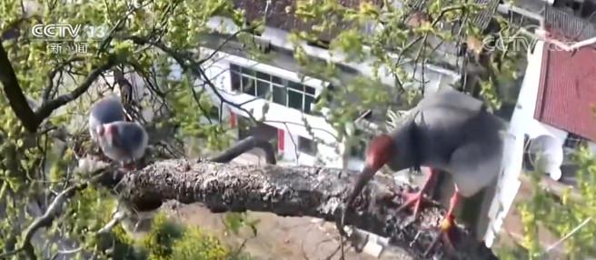 陕西:朱鹮狂风暴雨中守巢孵化图片