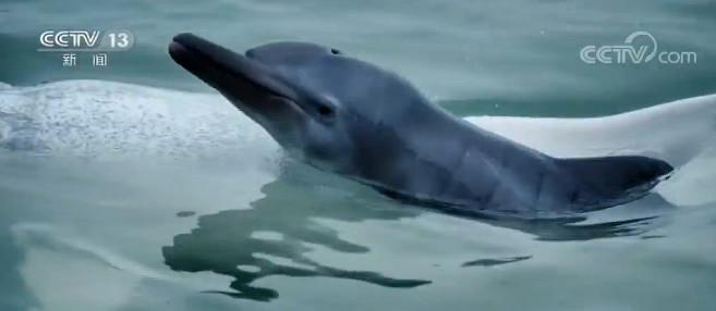 广西钦州三娘湾发现白海豚幼仔图片