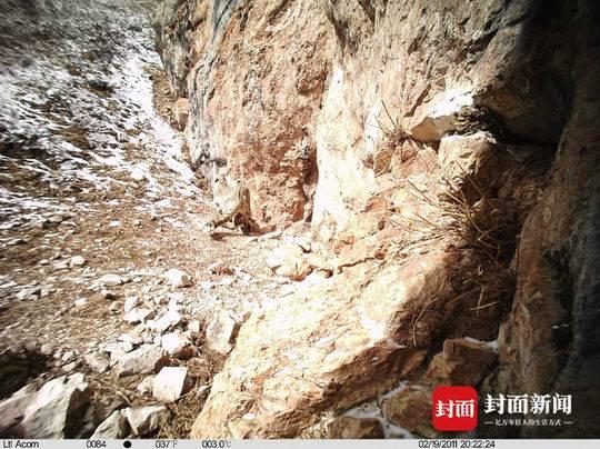 三江源黄河源地区拍摄到罕见野生雪豹交配影像