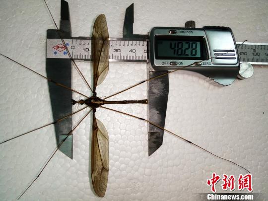 四川发现巨型蚊子个体 翅展长度达11.15厘米