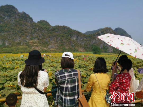 国庆假期,位于桂林七星区马家访村的百余亩背日葵怒放,吸收浩瀚外埠旅客战市平易近旅游赏识。 张超群 摄