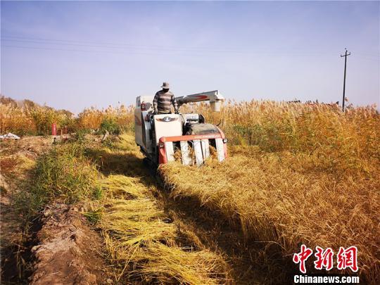 新疆兵团第十两师两两两团五连职工靳怀宾栽种的火稻迎去收成季。 安媛杰 摄