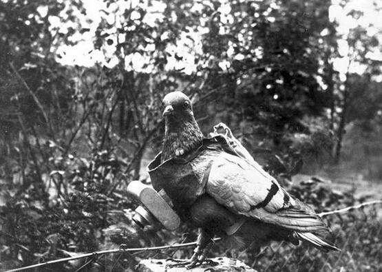 资料图片:二战信鸽。(图片来源于网络)