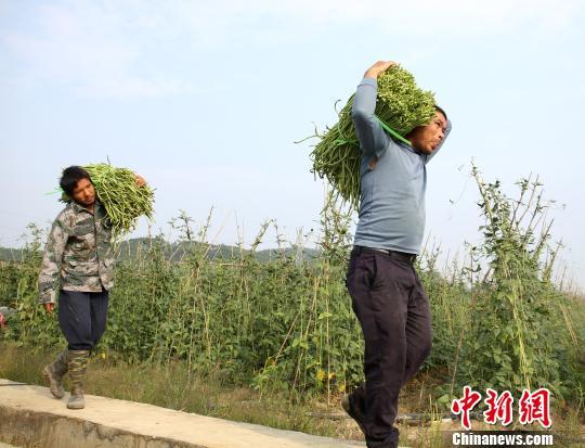 村民将采摘的豆角扛出豆角地。 朱柳融 摄
