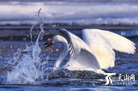 【新疆是个好地方】库尔勒越冬天鹅飞往巴音布鲁克