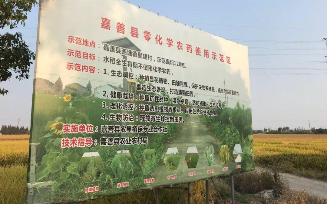 尝试零化学农药、人工除草种植 浙江星建村晚稻正收割