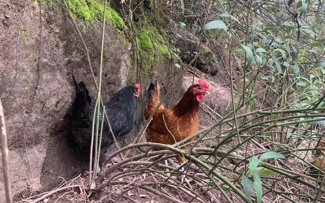 湖南芷江山鸡滞销 扶贫企业将全县11万只鸡包圆图片