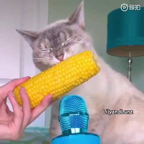 喵星人吃玉米,主人还拿麦克风放在旁边,声音太清脆了...