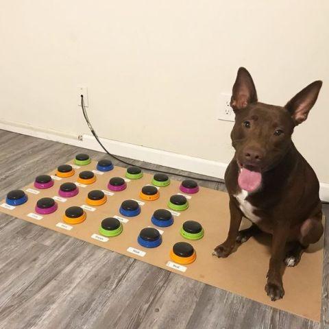 国外宠物犬8周学会29个单词 智力堪比2岁幼童