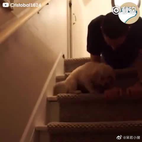 小狗狗不敢下楼梯,主人亲