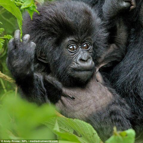 可爱!大猩猩宝宝翻滚到妈妈的肚子前玩耍
