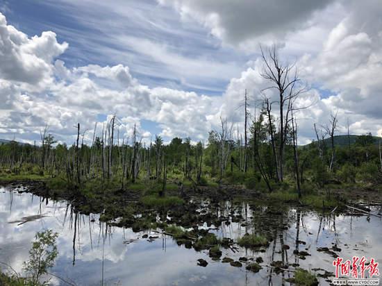 呼中镇外的枯木林。杨海/摄