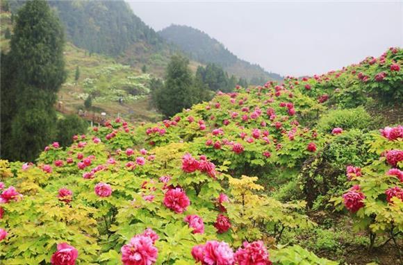 垫江华夏牡丹园清明小线路迎来最佳赏花期长假美食文化西安图片