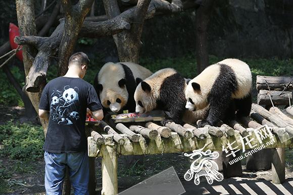 饲养员为大熊猫送来冰冻西瓜、甘蔗等美食。记者 李文科 摄 羊驼脱下棉袄 大熊猫住进空调房 洗冷水澡喽!每天大熊猫们最期待的莫过于这一刻啦。从全天开放的空调房里出来,熊猫宝贝正在工作人员的帮助下享受泡凉水澡的惬意。 此外,每只熊猫还能享受空调,还有专门的工作人员进行监护。动物园工作人员介绍,在炎热天气,如果不及时做好解暑措施,熊猫就会出现呼吸频率升高、喘气剧烈、活动量减少等情况。给它们使用冰块解暑的同时,还要辅以西瓜、苹果、鸭梨等水果调节饮食,就像照顾自己的孩子一样。