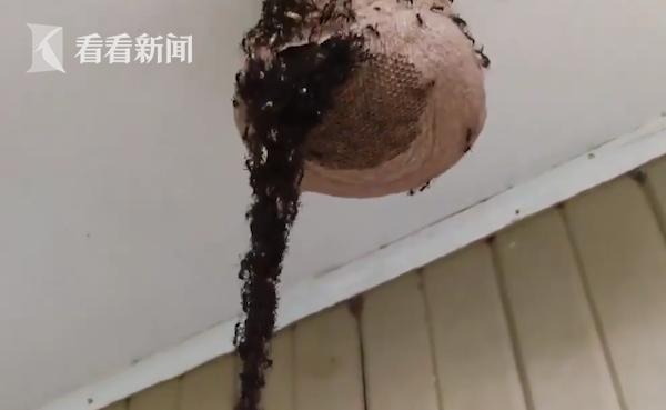 """震撼!百万只蚂蚁搭成数米""""蚂蚁桥"""" 直捣蜂巢"""
