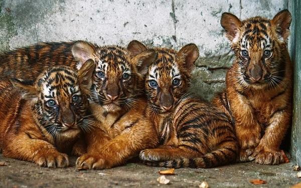 """安比、云雀、南乖、南巧 上海动物园新生""""小虎队""""有名字啦!"""