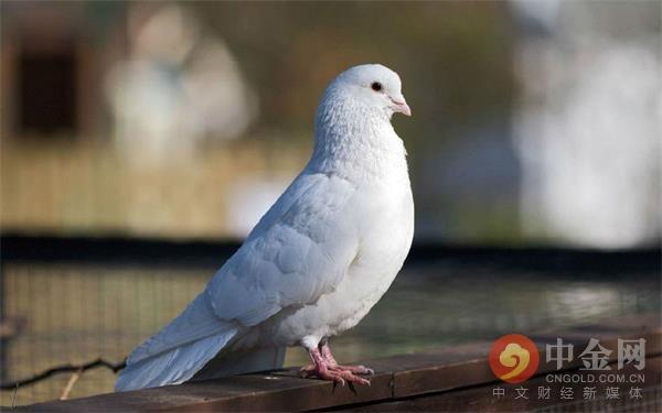 """京东""""飞翔鸽""""扶贫项目惹争议 村民:没看到过鸽子"""