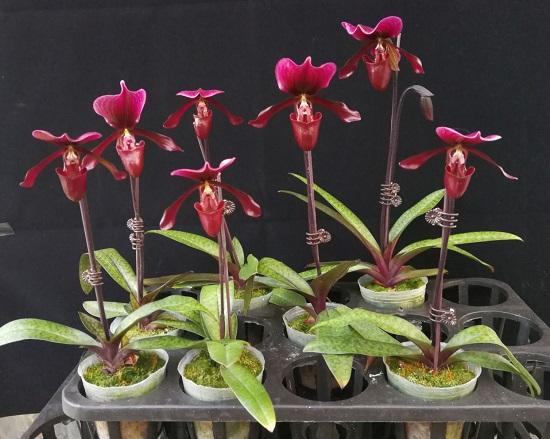 华南植物园两个兜兰新品种通过审定