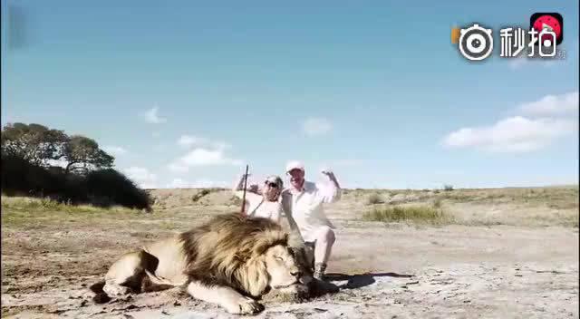 夫妻虐杀狮子后在尸体前合影 正按快门时背后冲出另一只狮子