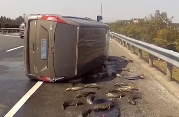 2019年3月12日,G15沈海高速亭林段,一辆面包车发生侧翻,车上的鱼散落在路上。