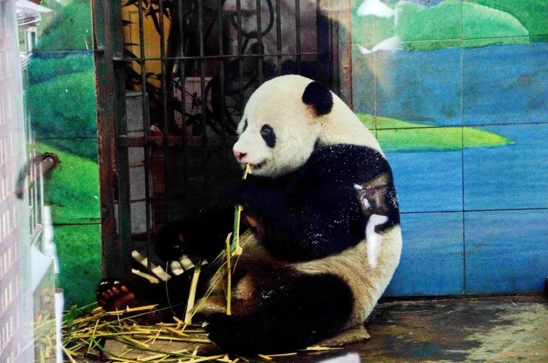 """大熊猫""""伟伟""""在武汉动物园疑遭虐待 已回四川"""