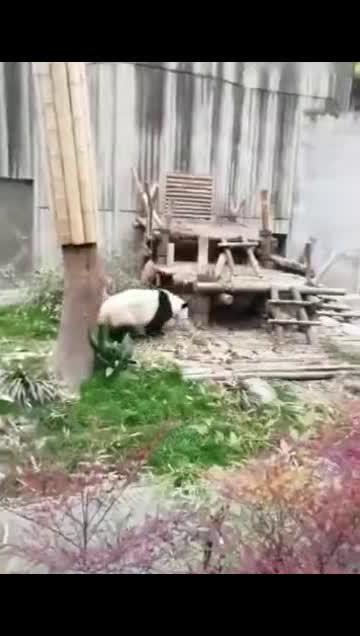 这下完了,让外国人彻底误会了,连熊猫都会功夫