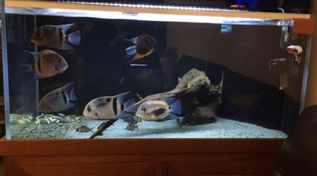 盘点十大奇特南美慈鲷鱼,很陌生也很美丽