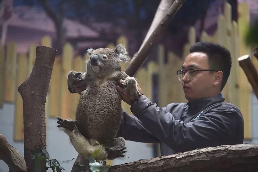 为了引进考拉 南京红山森林动物园用了四年时间 除了手续繁杂 饲养员